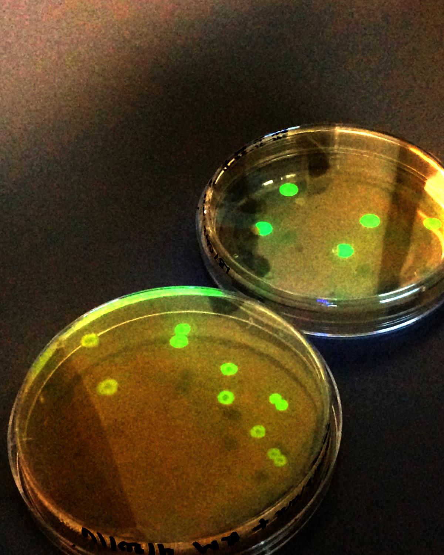 petri-dish1