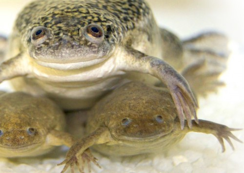 HudsonAlpha GSC researchers complete new clawed frog genome