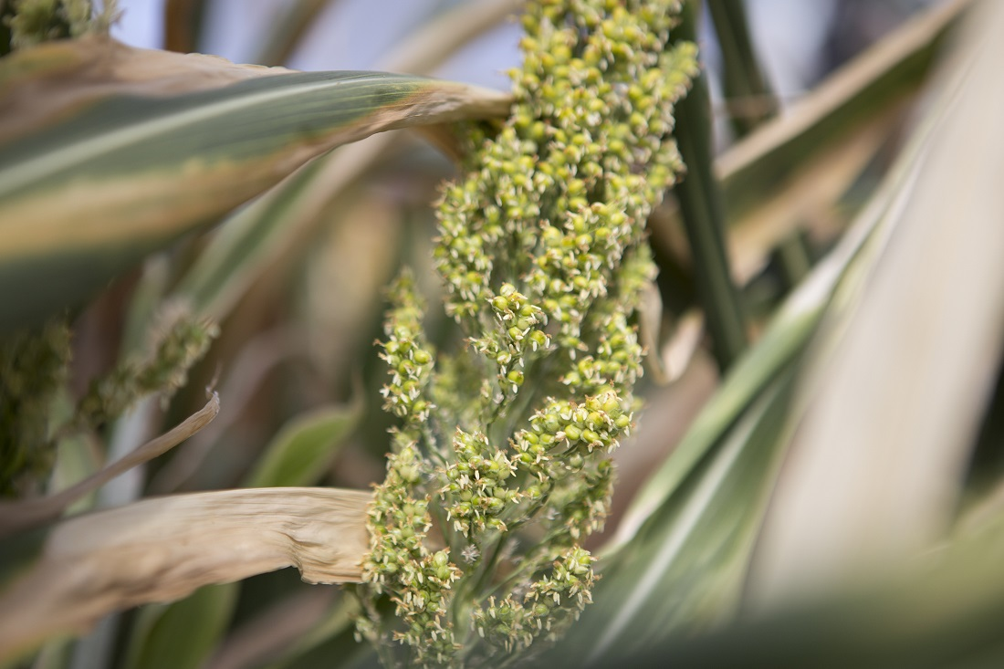 Photo caption: Sorghum is an ideal crop to meet the predicted doubling of global demand for food and fuel by 2050 with less impact on the environment. Credit: Donald Danforth Plant Science Center