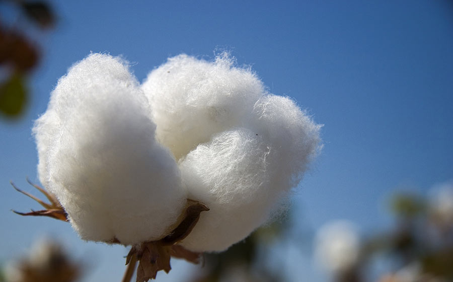 cotton-boll