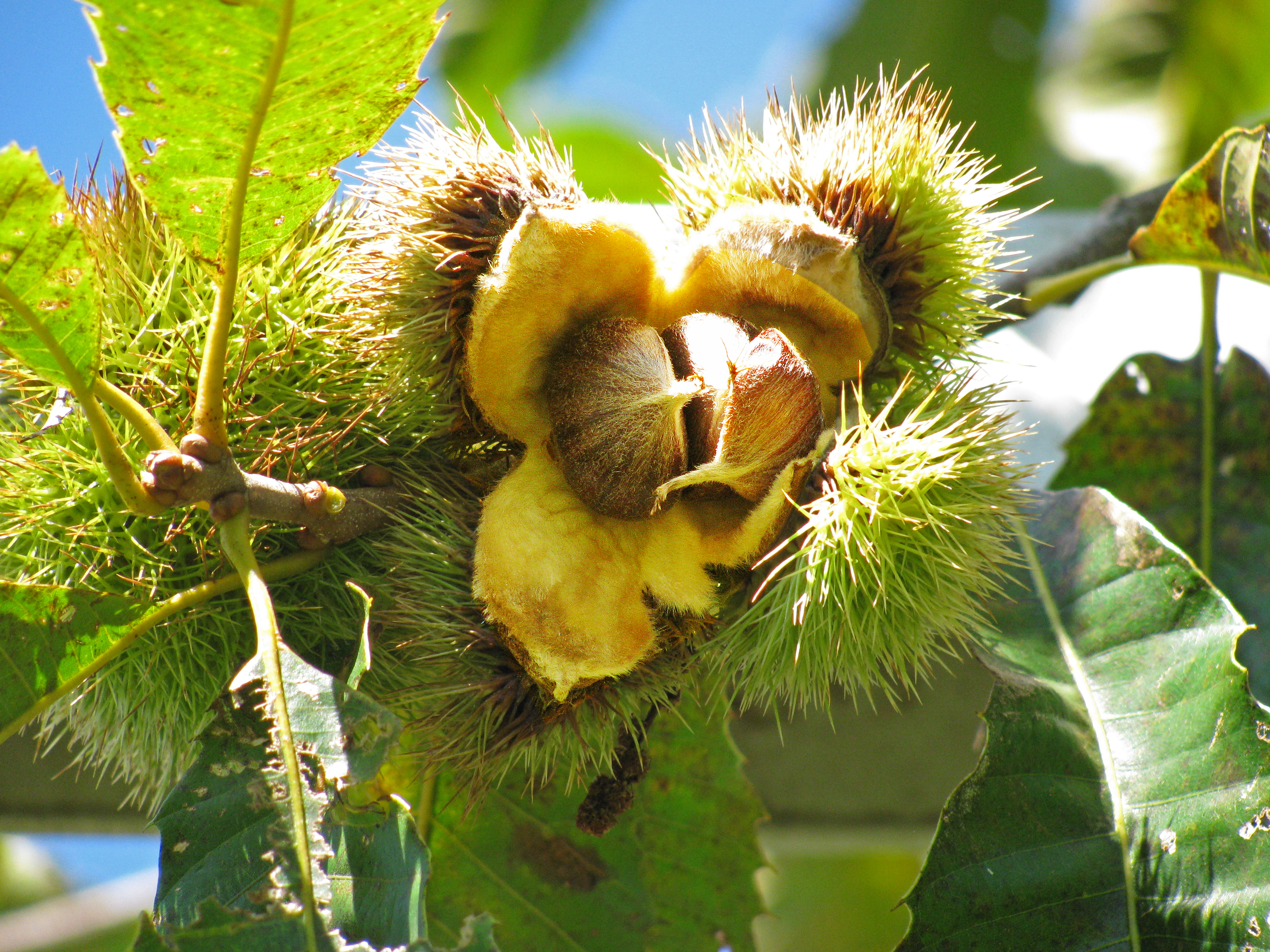 Photo Credit: Courtesy of The American Chestnut Foundation